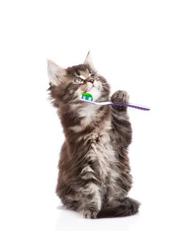 aseo: peque�o gato maine coon con cepillo de dientes ,. aislado en fondo blanco