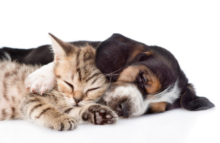 Kitten and basset hound puppy sleeping together. isolated on white background Stock Photo