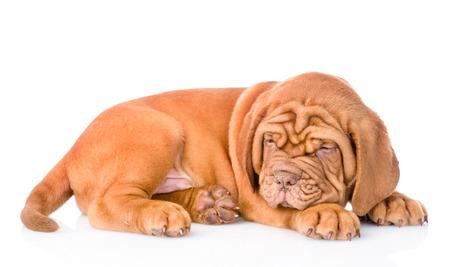 animal sad face: Sad Bordeaux puppy lying. isolated on white background
