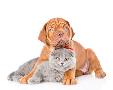 Bordeaux puppy dog embracing gray cat. isolated on white background