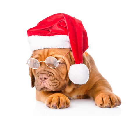 Bordeaux puppy with glasses in red santa hat. isolated on white background photo