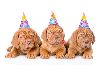 Group Bordeaux puppies dog with birthday hats. isolated on white background photo