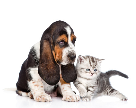 Basset hound puppy sitting with tabby kitten. isolated on white background photo