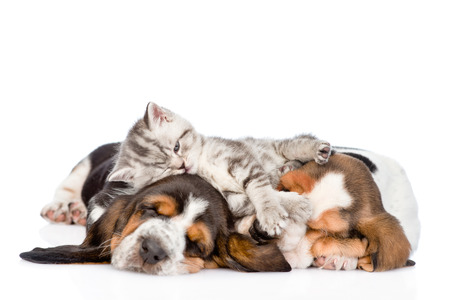 animals together: Funny kitten lying on the puppies basset hound. isolated on white background Stock Photo