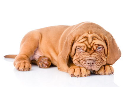 PUPPIES: Sad Bordeaux puppy dog. isolated on white background