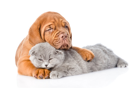Bordeaux puppy hugs sleeping cat. isolated on white background 写真素材