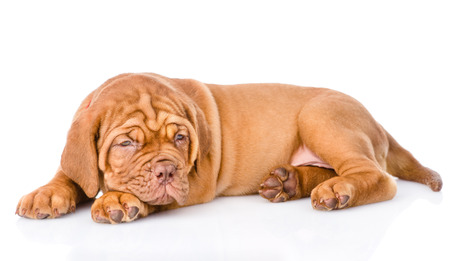 weary: Weary Bordeaux puppy. isolated on white background