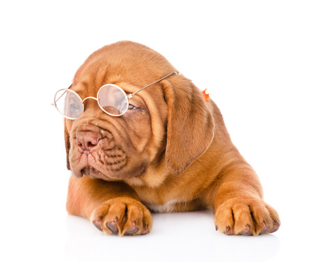 Bordeaux puppy dog with glasses photo