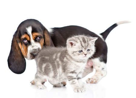 baby ass: basset hound puppy sniffing kitten. isolated on white background