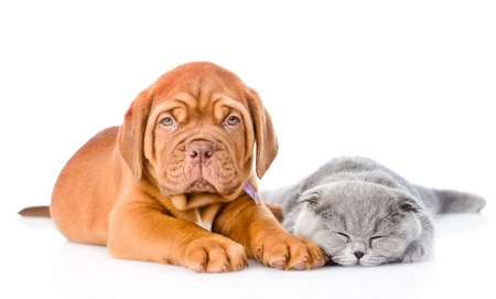 Bordeaux puppy lying with a sleeping gray cat. isolated on white background photo