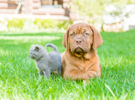 Bordeaux puppy and kitten playing on nature photo