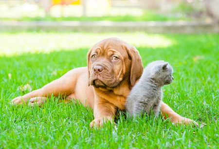 french mastiff: Bordeaux puppy lying with a kitten on the green grass