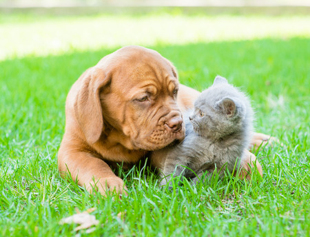Bordeaux puppy playing with a kitten on the green grass