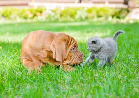 perro asustado: Bordeaux puppy dog and newborn kitten on green grass Foto de archivo
