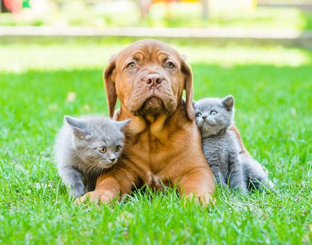 Twee kleine katjes zitten op groen gras met Bordeaux puppy hond Stockfoto