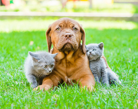 Two small kittens sitting on green grass with Bordeaux puppy dog