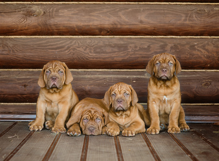 nice house: Group Bordeaux puppy dog sitting in front view near wood wall