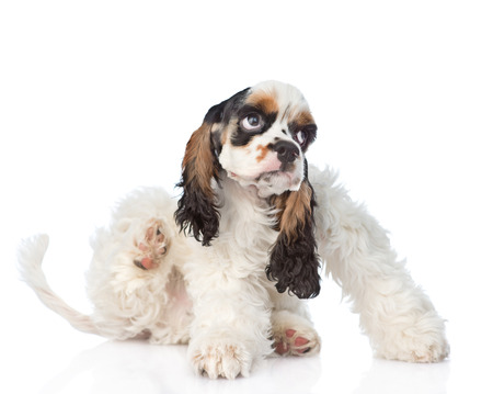 fleas: Cocker Spaniel puppy scratching. isolated on white background