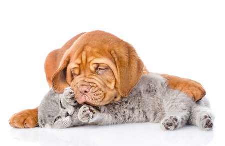 Bordeaux puppy dog playing with a scottish cat. isolated on white background Stockfoto