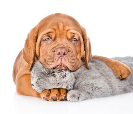 animals together: Sad Bordeaux puppy hugs sleeping cat. isolated on white background