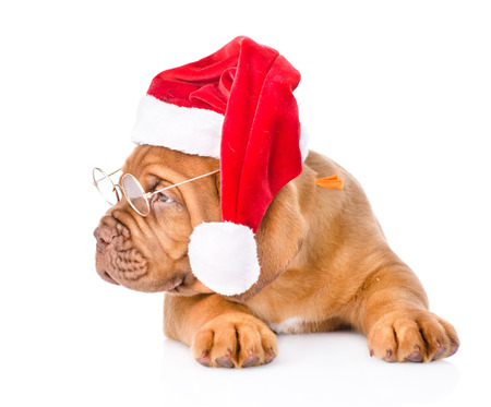 Bordeaux puppy with glasses and red santa hat. isolated on white background photo
