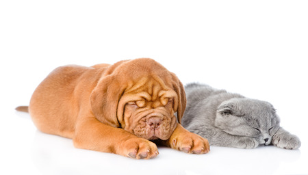 Bordeaux puppy sleep with gray cat. isolated on white background photo
