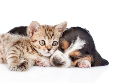 cute puppy: Cute kitten lying with sleeping basset hound puppy. isolated on white background Stock Photo