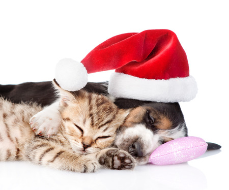 pet new years new year pup: Tiny kitten and basset hound puppy in red santa hat. isolated on white background Stock Photo