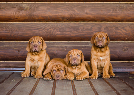 PUPPIES: Group Bordeaux puppy dog sitting in front view near wood wall