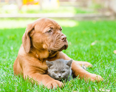french mastiff: Bordeaux puppy hugging a kitten on the green grass. Focus on cat