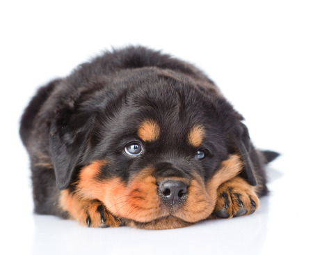 animal sad face: Sad rottweiler puppy lying in front view. Isolated on white background Stock Photo