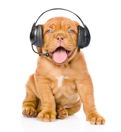 Bordeaux puppy dog with phone headset. isolated on white background