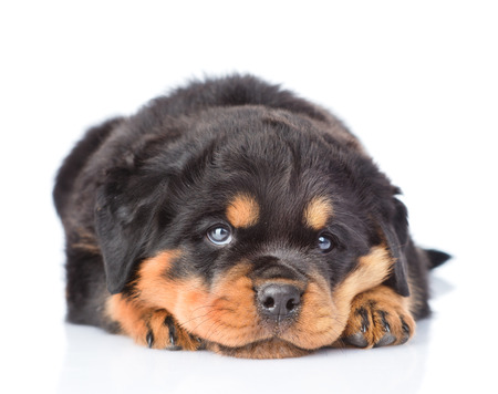 rottweiler: Sad rottweiler puppy lying in front view. Isolated on white background Stock Photo