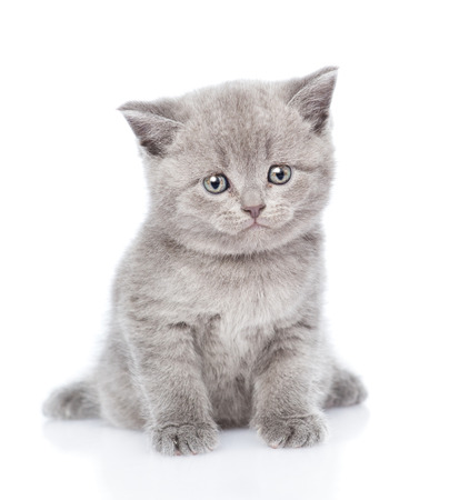 animal pussy: Scottish kitten looking at camera. isolated on white background