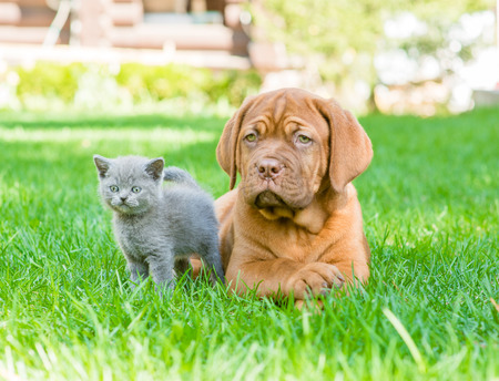 summer dog: Bordeaux puppy and kitten playing on nature