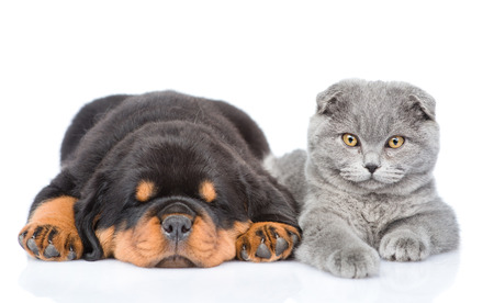 kittens: scottish kitten and sleeping rottweiler puppy lying together. Isolated on white background