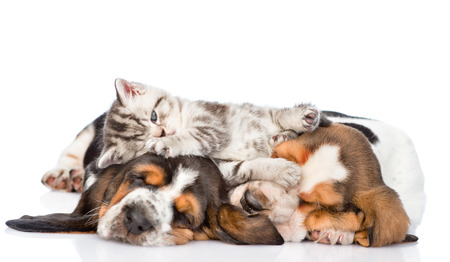 PUPPIES: Funny kitten lying on the puppies basset hound. isolated on white background.