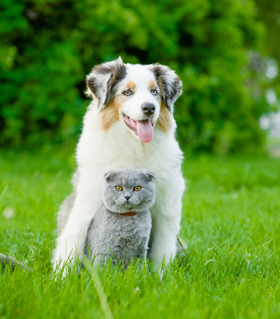 Australian shepherd puppy and cat sitting together on the green grass. Stockfoto