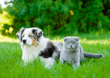 Australian shepherd puppy and scottish cat lying on green grass.