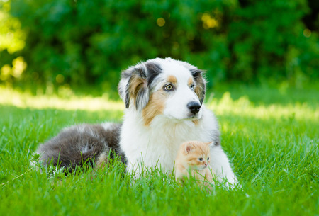 Australian shepherd puppy lying with small kitten on green grass.