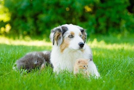 whelp: Australian shepherd puppy lying with small kitten on green grass.