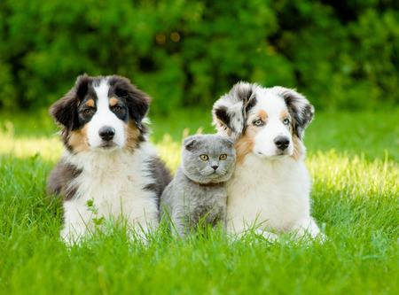 dog cat: Two Australian shepherd puppies and scottish cat lying on green grass. Stock Photo
