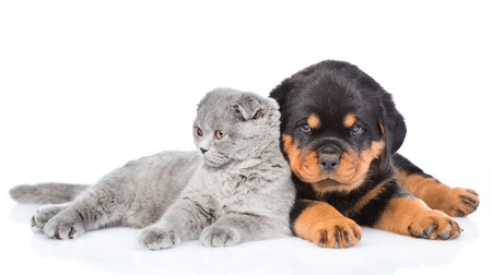 rottweiler: scottish kitten lying with rottweiler puppy lying. Isolated on white background.