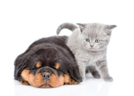 rottweiler: Scottish kitten and sleeping rottweiler puppy lying together. Isolated on white background.