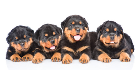 rottweiler: Group of puppies Rottweiler lying together in front view. Isolated on white background Stock Photo