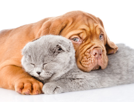 hug: Sad Bordeaux puppy hugs sleeping cat. isolated on white background.