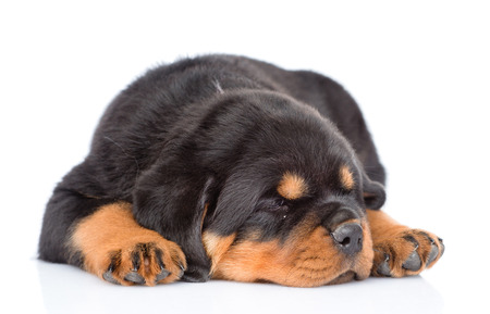rottweiler: sleep rottweiler puppy. Isolated on white background.