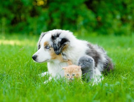 kittens: Australian shepherd puppy lying with tiny kitten on the green grass.
