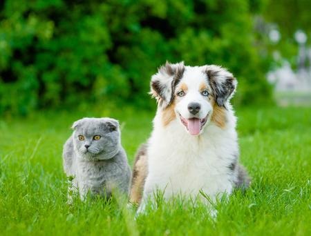 Australian shepherd puppy and scottish cat lying on green grass.