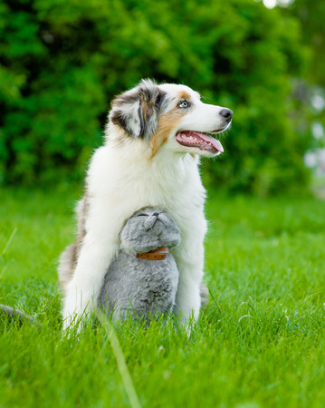 Australian shepherd puppy and cat sitting together on the green grass.